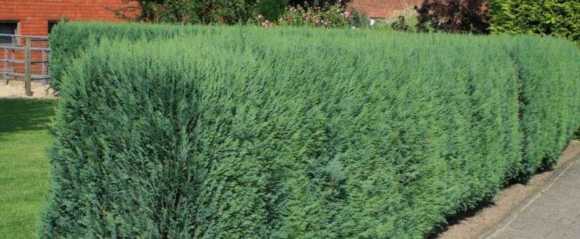 Изгородь из можжевельника своими руками: виды, сорта, фото и видео
