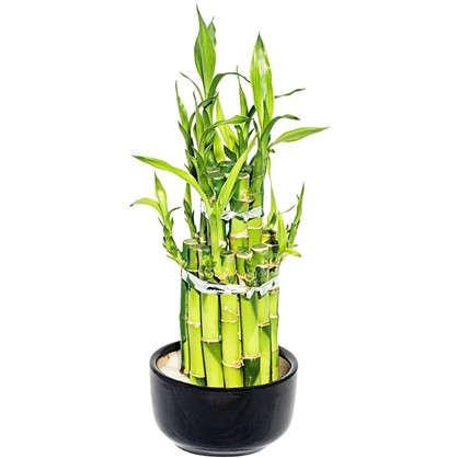 Бамбук Лаки 2 ронд 9х18 см