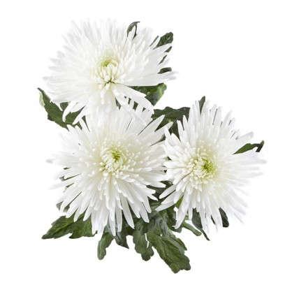 Букет Хризантема Анастасия 60 см 3 шт.