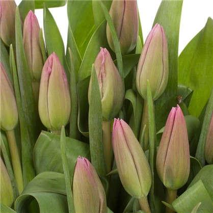 Букет Тюльпаны 25 шт.
