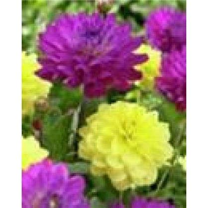Георгина бордюрная желтая и фиолетовая I