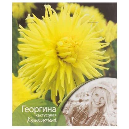 Георгина кактусовая Кеннермерленд