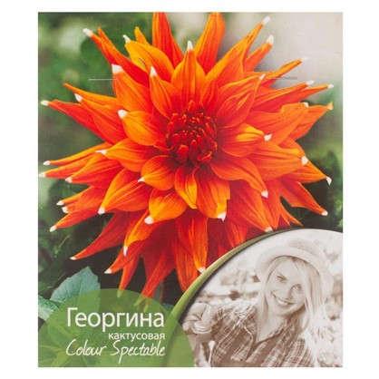 Георгина кактусовая Колор спектакль