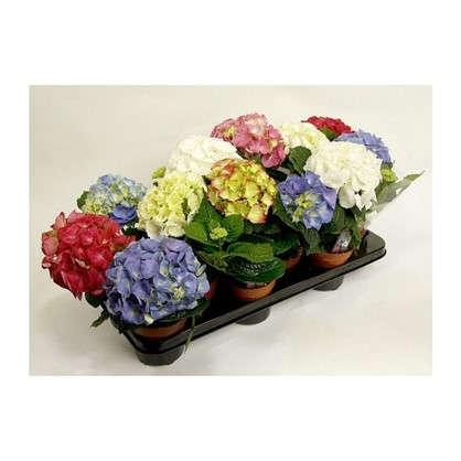 Гидрангея микс 3-4 цветка D105 H25