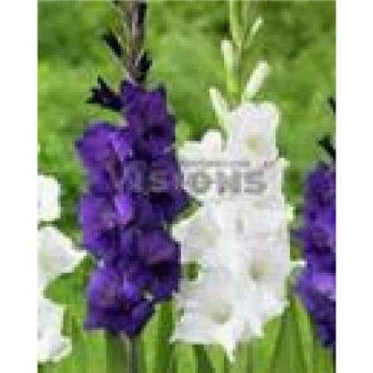 Гладиолус фиолетовый и белый микс