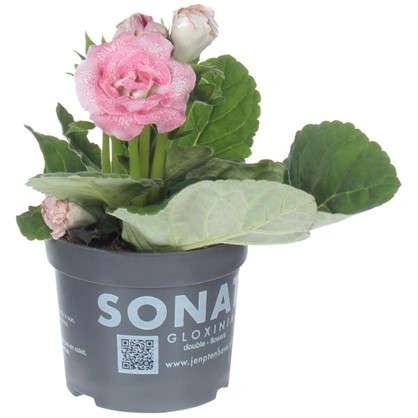 Глоксиния Соната розовая