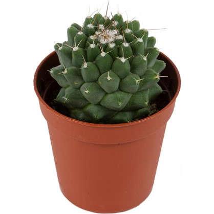 Кактус Mammillaria 5х14 см