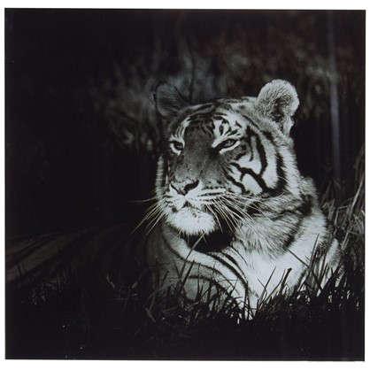 Картина на стекле 30х30 см Бенгальский тигр