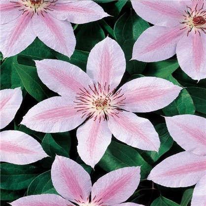 Клематис Джон Паул II розово-белый