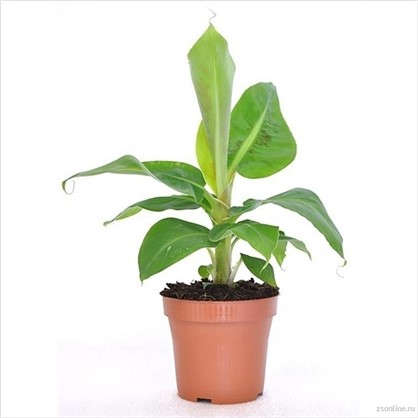 Муса (банан) тропикана