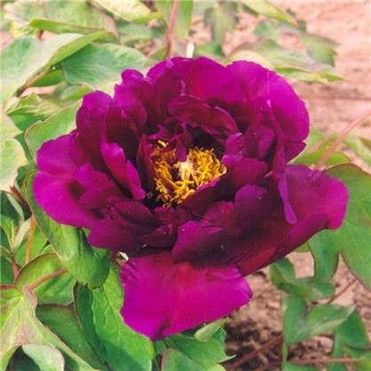 Пион древовидный Фиолетовый