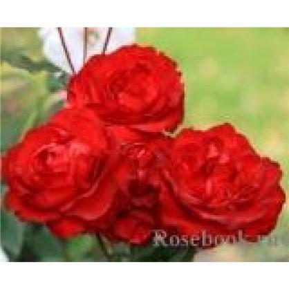 Роза Alaine полиантовая  (тб 9*9)