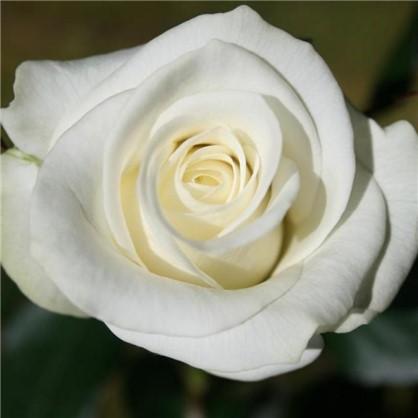 Роза чайно-гибридная Акито