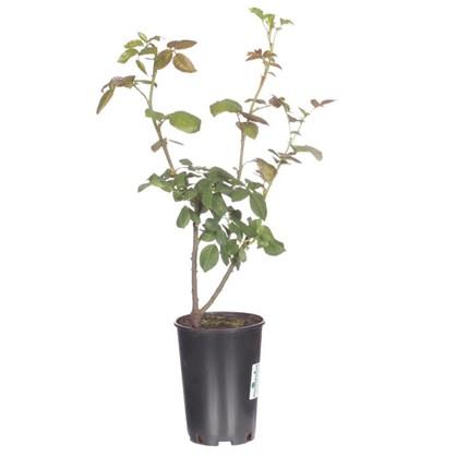 Роза чайно-гибридная Анастасия С2 цвет белый