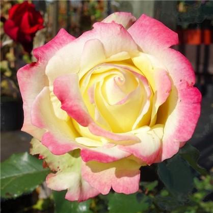 Роза чайно-гибридная Атена