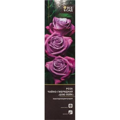 Роза чайно-гибридная Блю Лейк в тубе