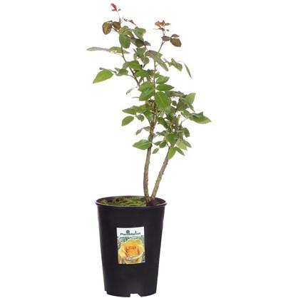 Роза чайно-гибридная Керио С2 цвет жёлтый