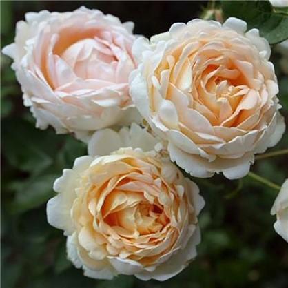 Роза Old Gold полиантовая  (тб 9*9)