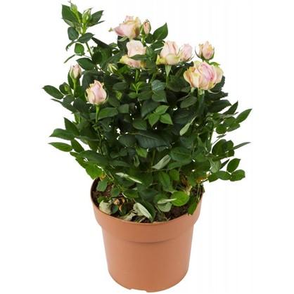 Роза палас микс  17х45 см