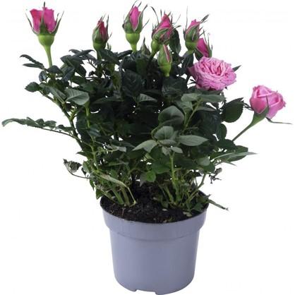 Роза Парад микс 10х27 см