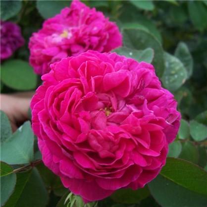 Роза парковая Роуз де Решт
