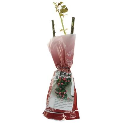 Роза  Pink Heidelberg плетистая 300 гр. (роз.пакет)
