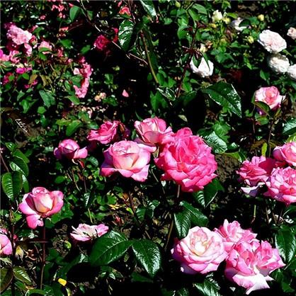 Роза плетистая Хэндель 3.5 л