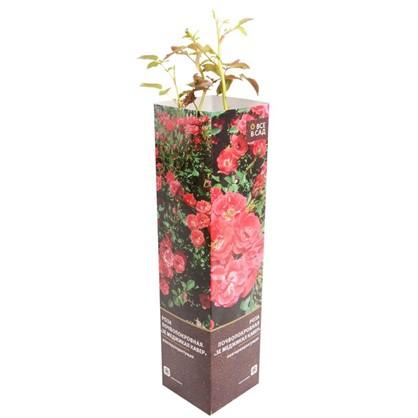 Роза почвопокровная Зе Меджикал Кавер в тубе