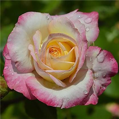 Роза Royal Minueto полиант(тб 9*9)
