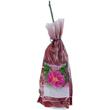 Роза ругоза (морщинистая) Рубра