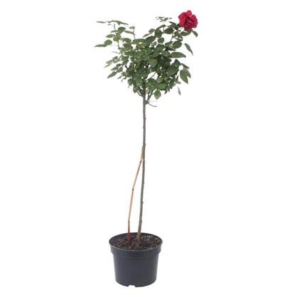 Роза штамб 15 л