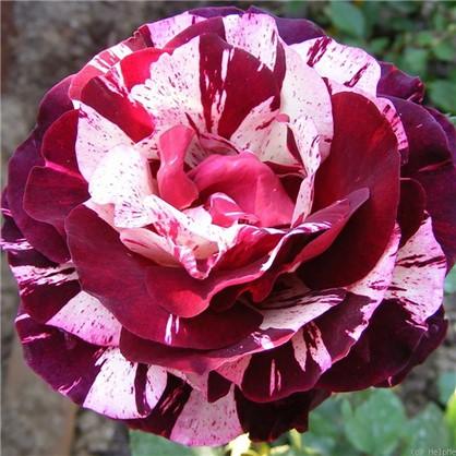 Розы чайно-гибридные Имэджин