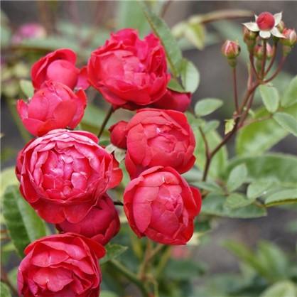 Розы миниатюрные Руд Морсдаг