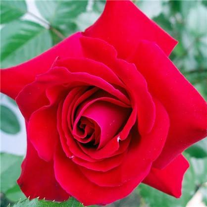 Розы плетистые Грусс эн Хейдельберг