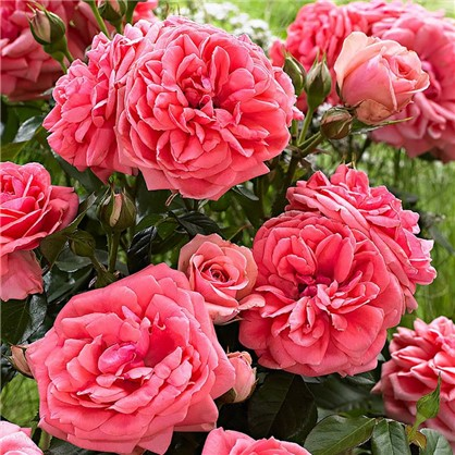 Розы плетистые Клайминг Кимоно