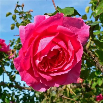 Розы плетистые Парад