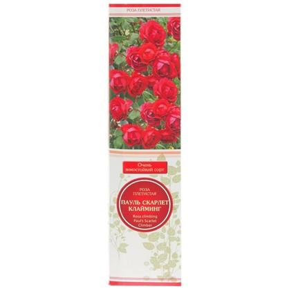 Розы плетистые Пауль Скарлет Клайминг