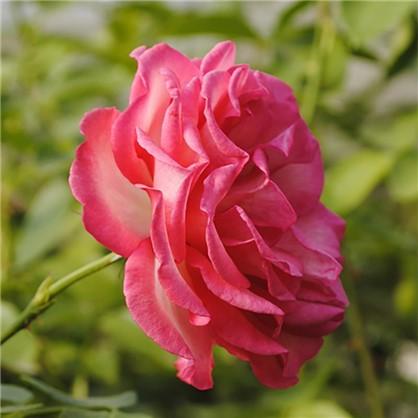 Розы плетистые Рина Херхолдт