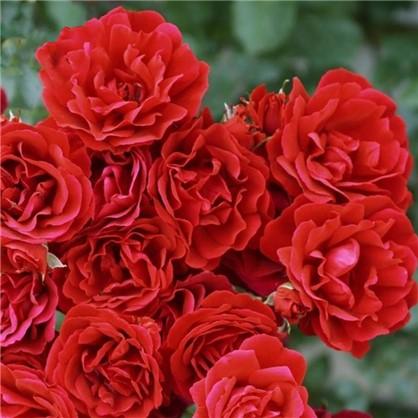 Розы плетистые Симпати