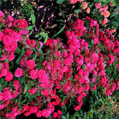 Розы почвопокровные Фэйри Данс