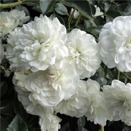 Розы почвопокровные Свани