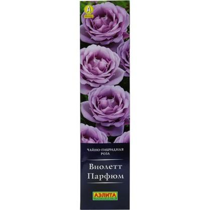 Саженец розы Виолетт Парфюм