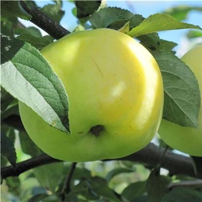 Яблоня Антоновка 1-2 года (пакет)