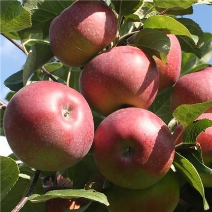 Яблоня Лобо пакет