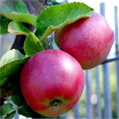 Яблоня Спартан1-2 года (пакет)